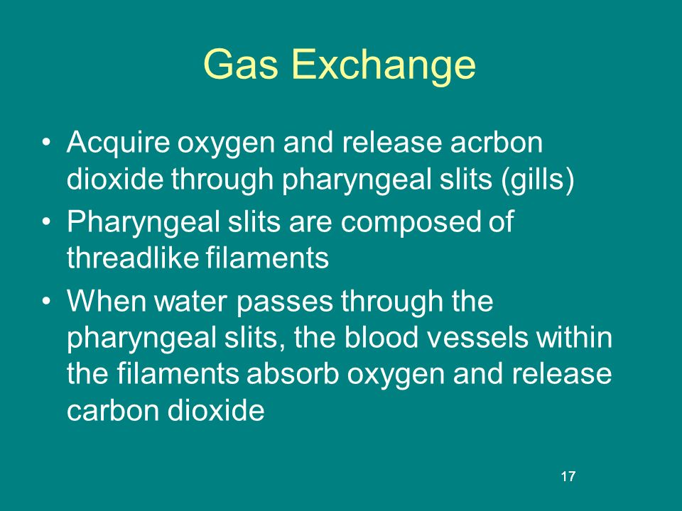 Gas Exchange Acquire oxygen and release acrbon dioxide through pharyngeal slits (gills) Pharyngeal slits are composed of threadlike filaments.