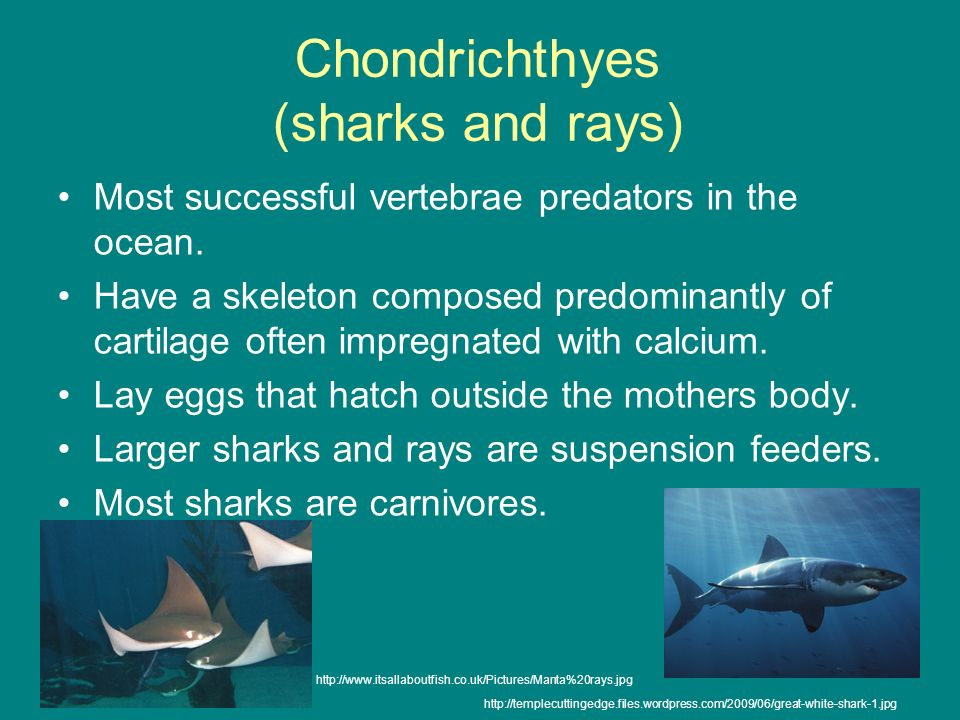 Chondrichthyes (sharks and rays)