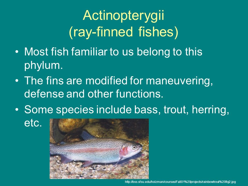 Actinopterygii (ray-finned fishes)
