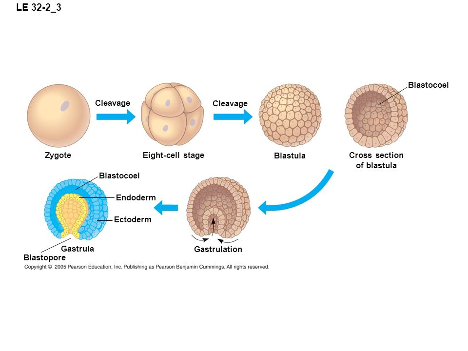 LE 32-2_3 Blastocoel Cleavage Cleavage Zygote Eight-cell stage