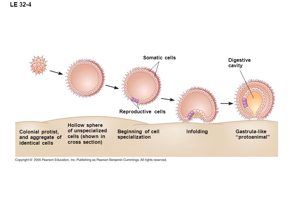 LE 32-4 Somatic cells Digestive cavity Reproductive cells