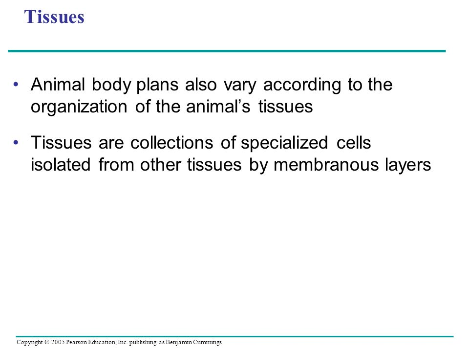 Tissues Animal body plans also vary according to the organization of the animal's tissues.