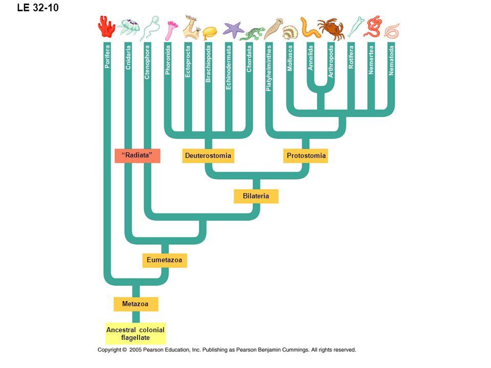 LE 32-10 Radiata Deuterostomia Protostomia Bilateria Eumetazoa