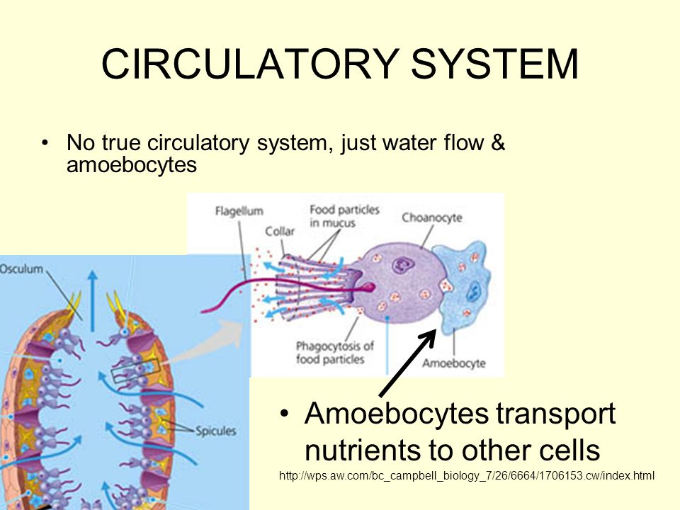 CIRCULATORY SYSTEM Amoebocytes transport nutrients to other cells