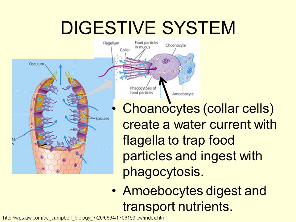 DIGESTIVE SYSTEM Choanocytes (collar cells) create a water current with flagella to trap food particles and ingest with phagocytosis.