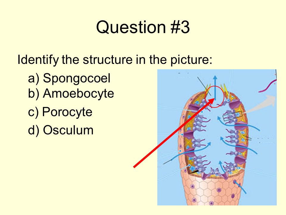 Question #3 Identify the structure in the picture: a) Spongocoel b) Amoebocyte c) Porocyte d) Osculum