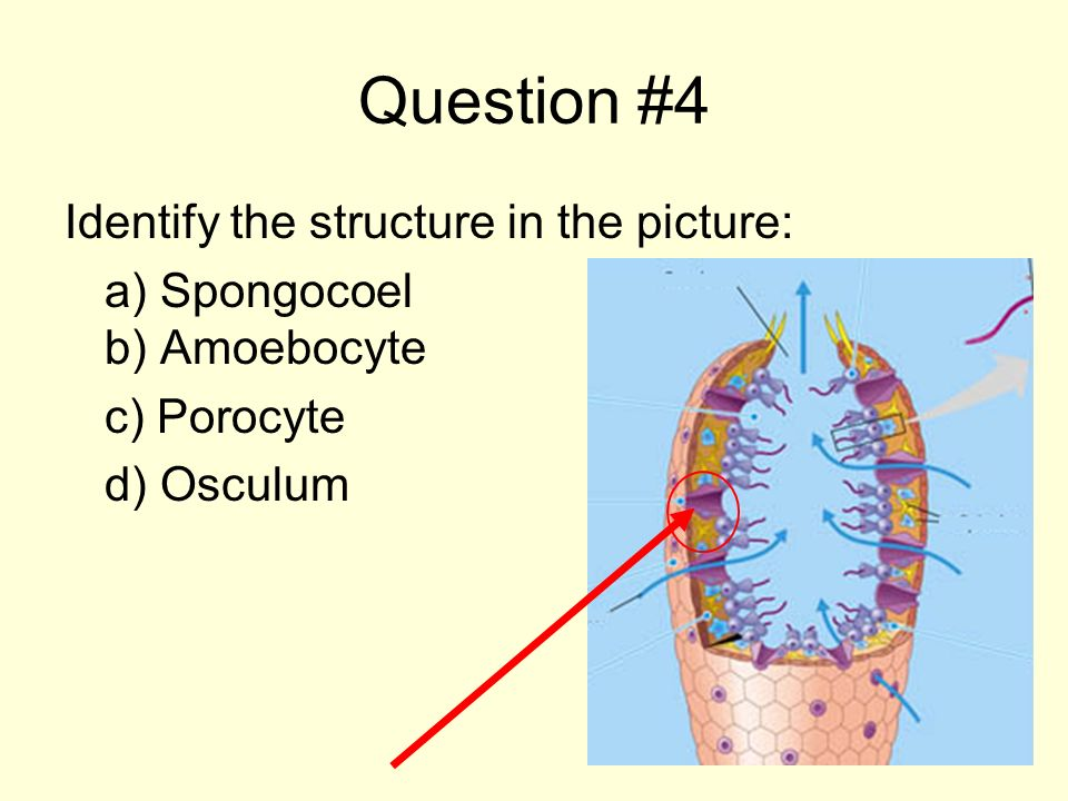 Question #4 Identify the structure in the picture: a) Spongocoel b) Amoebocyte c) Porocyte d) Osculum