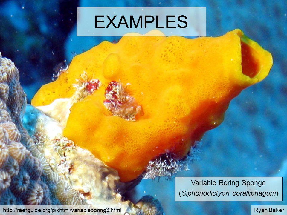 EXAMPLES Variable Boring Sponge (Siphonodictyon coralliphagum)