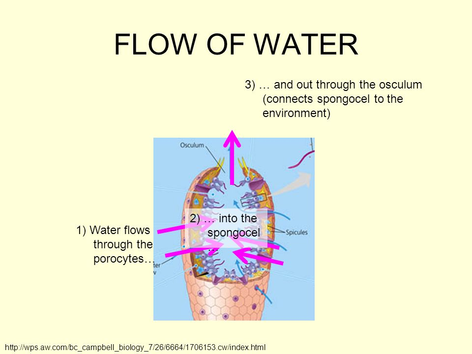 FLOW OF WATER 3) … and out through the osculum (connects spongocel to the environment) 2) … into the spongocel…