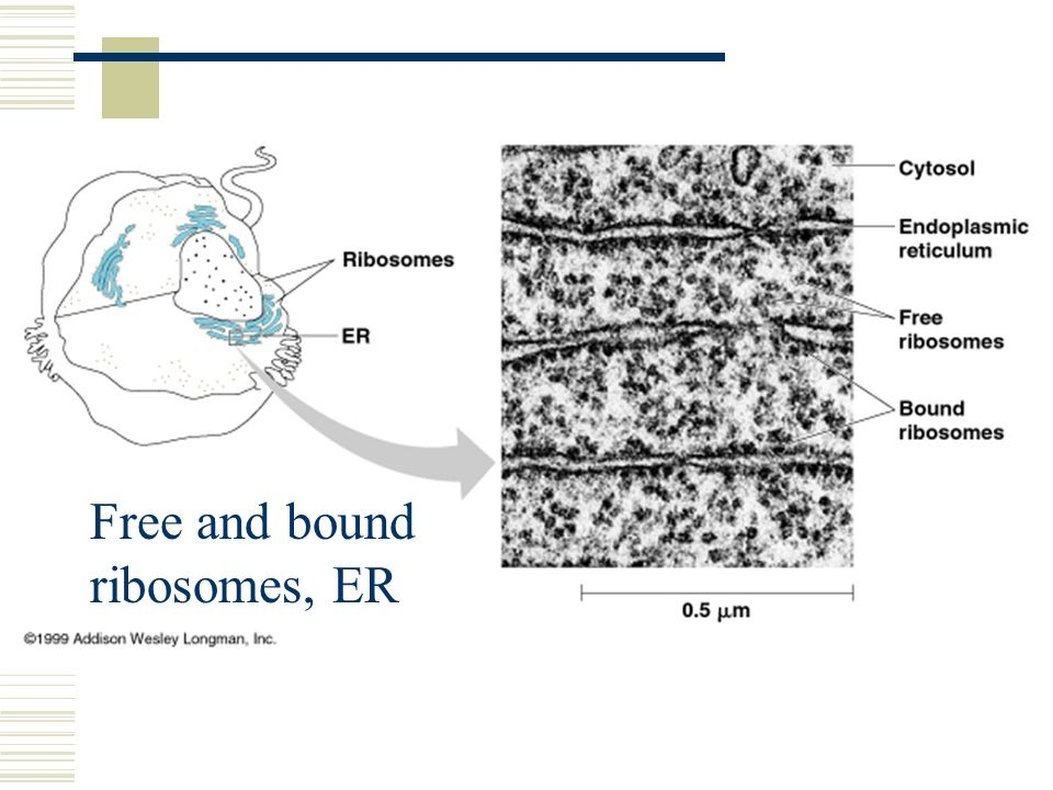 Free and bound ribosomes, ER