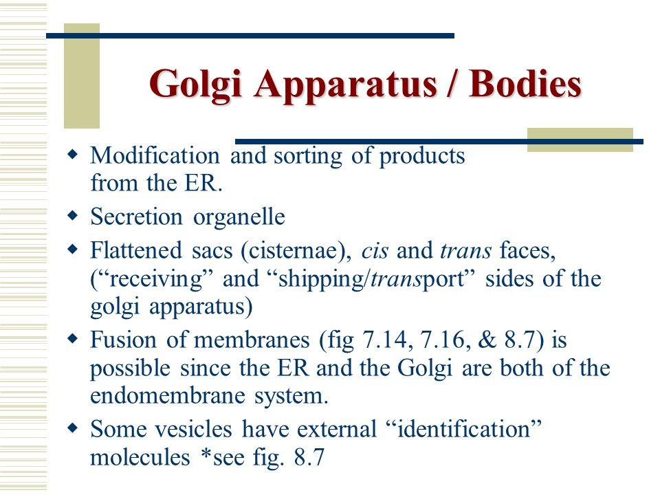 Golgi Apparatus / Bodies