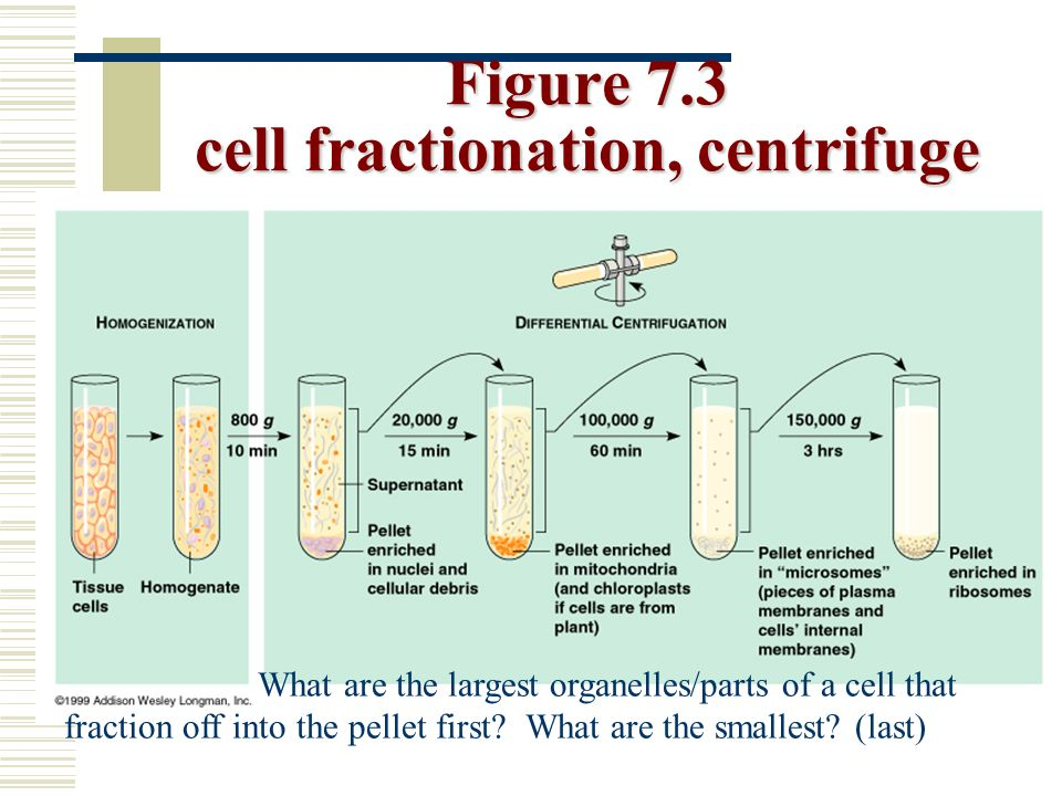 cell fractionation Cell fractionation cells can be disrupted in various ways: they can be subjected to osmotic shock or ultrasonicvibration, or forced through a small orifice, or.