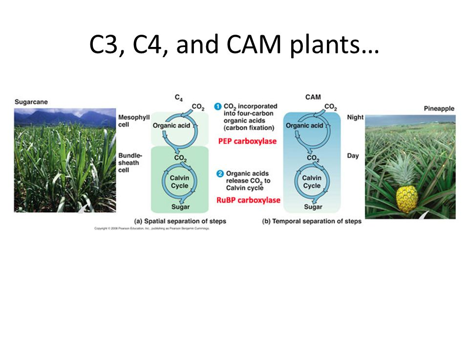 C3, C4, and CAM plants…
