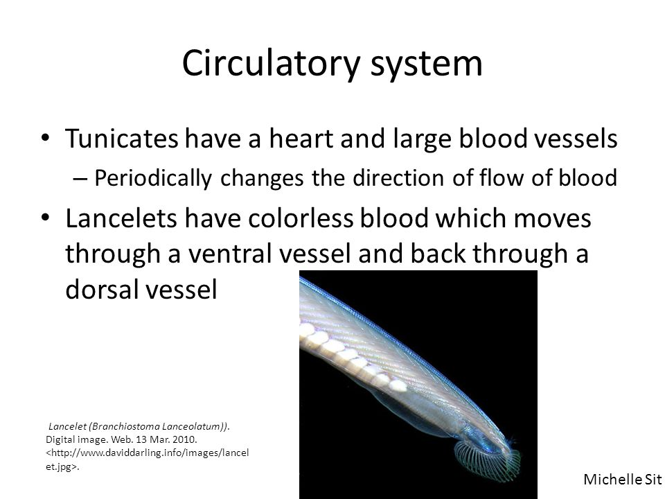Circulatory system Tunicates have a heart and large blood vessels