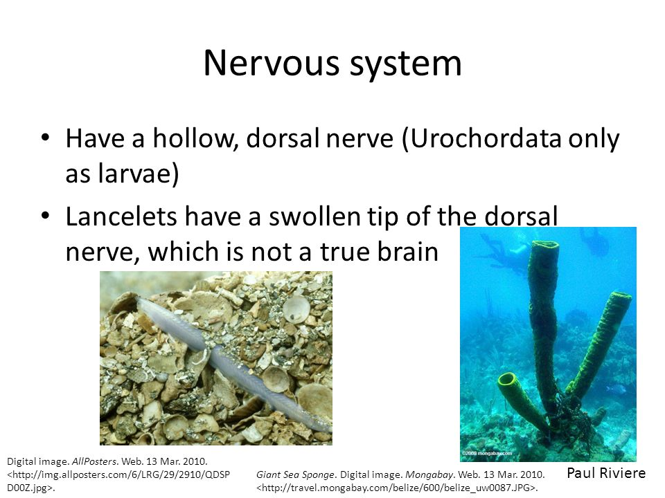 Nervous system Have a hollow, dorsal nerve (Urochordata only as larvae) Lancelets have a swollen tip of the dorsal nerve, which is not a true brain.