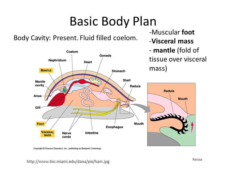 Basic Body Plan Muscular foot Visceral mass