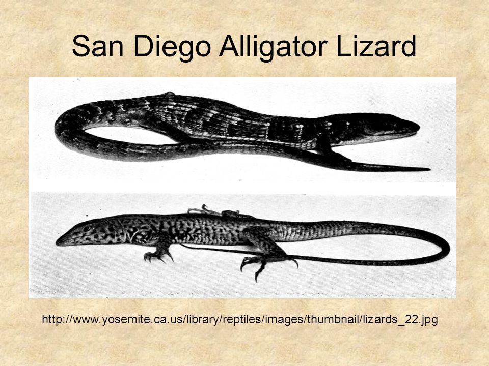 San Diego Alligator Lizard