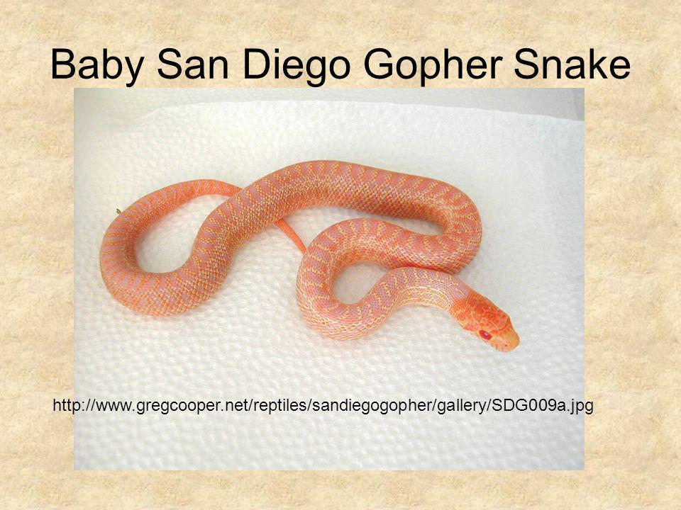 Baby San Diego Gopher Snake
