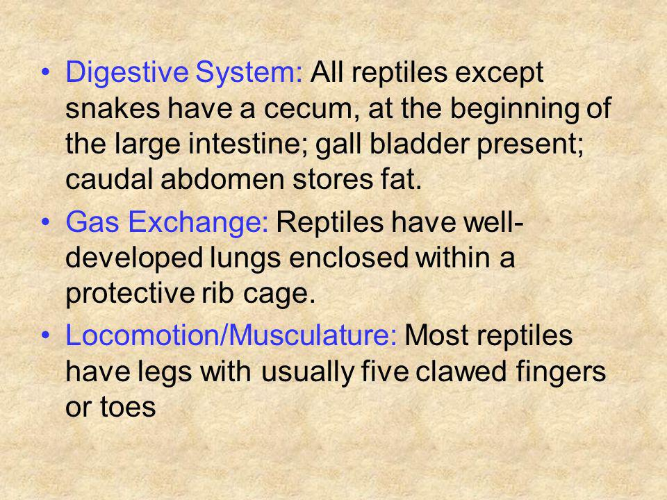 Digestive System: All reptiles except snakes have a cecum, at the beginning of the large intestine; gall bladder present; caudal abdomen stores fat.