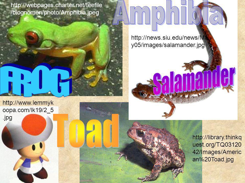 Amphibia Salamander FROG Toad