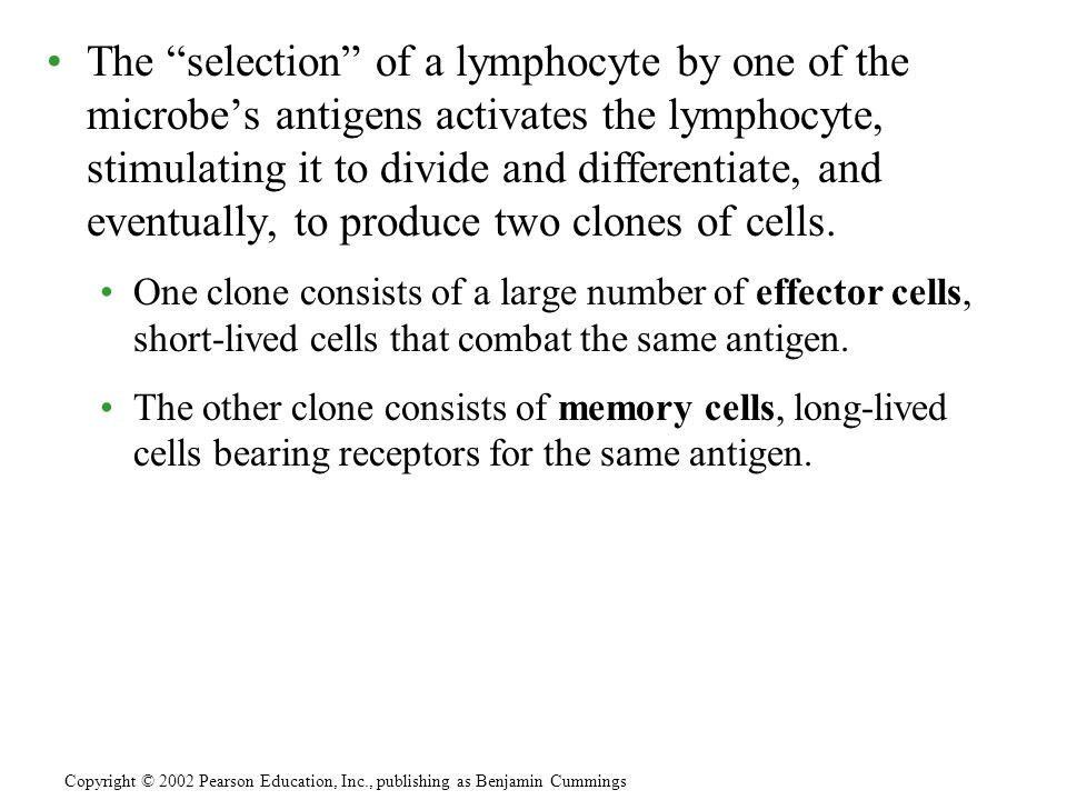 The selection of a lymphocyte by one of the microbe's antigens activates the lymphocyte, stimulating it to divide and differentiate, and eventually, to produce two clones of cells.