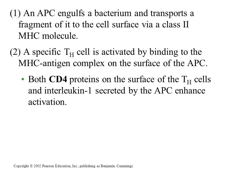 (1) An APC engulfs a bacterium and transports a fragment of it to the cell surface via a class II MHC molecule.