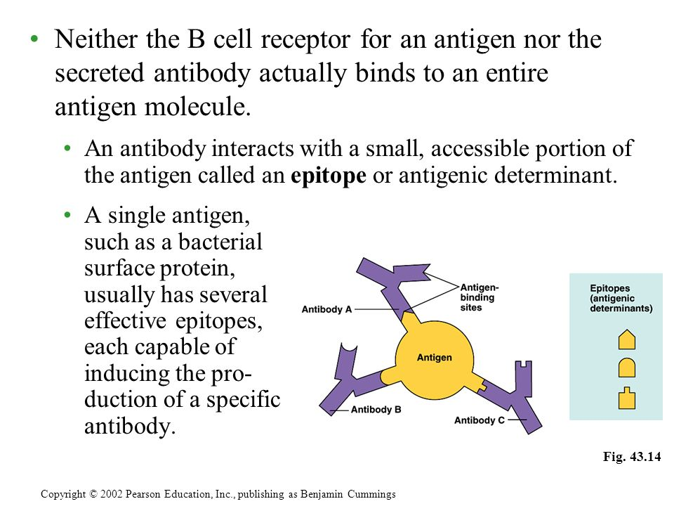 Neither the B cell receptor for an antigen nor the secreted antibody actually binds to an entire antigen molecule.
