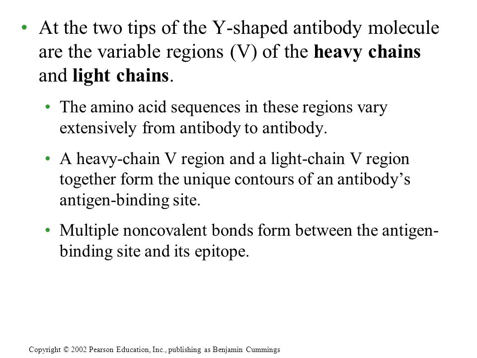 At the two tips of the Y-shaped antibody molecule are the variable regions (V) of the heavy chains and light chains.