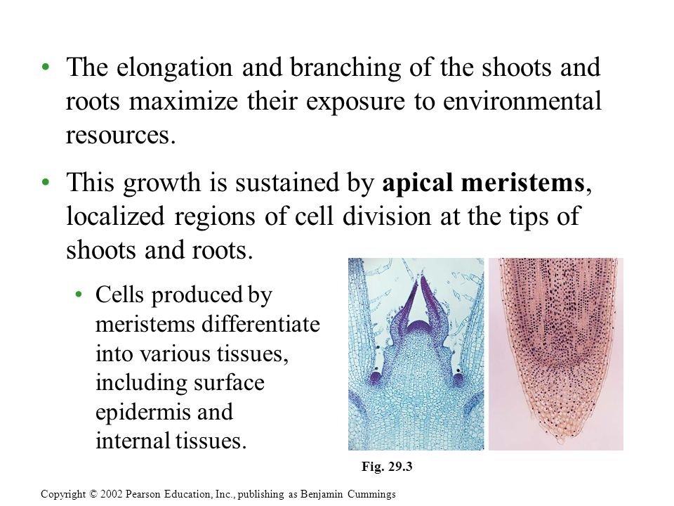 The elongation and branching of the shoots and roots maximize their exposure to environmental resources.