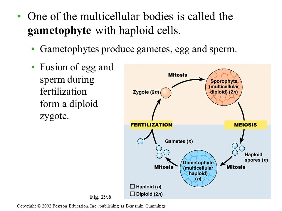 One of the multicellular bodies is called the gametophyte with haploid cells.