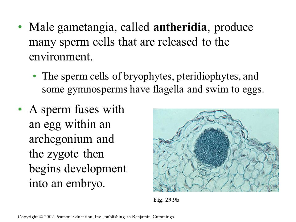 Male gametangia, called antheridia, produce many sperm cells that are released to the environment.