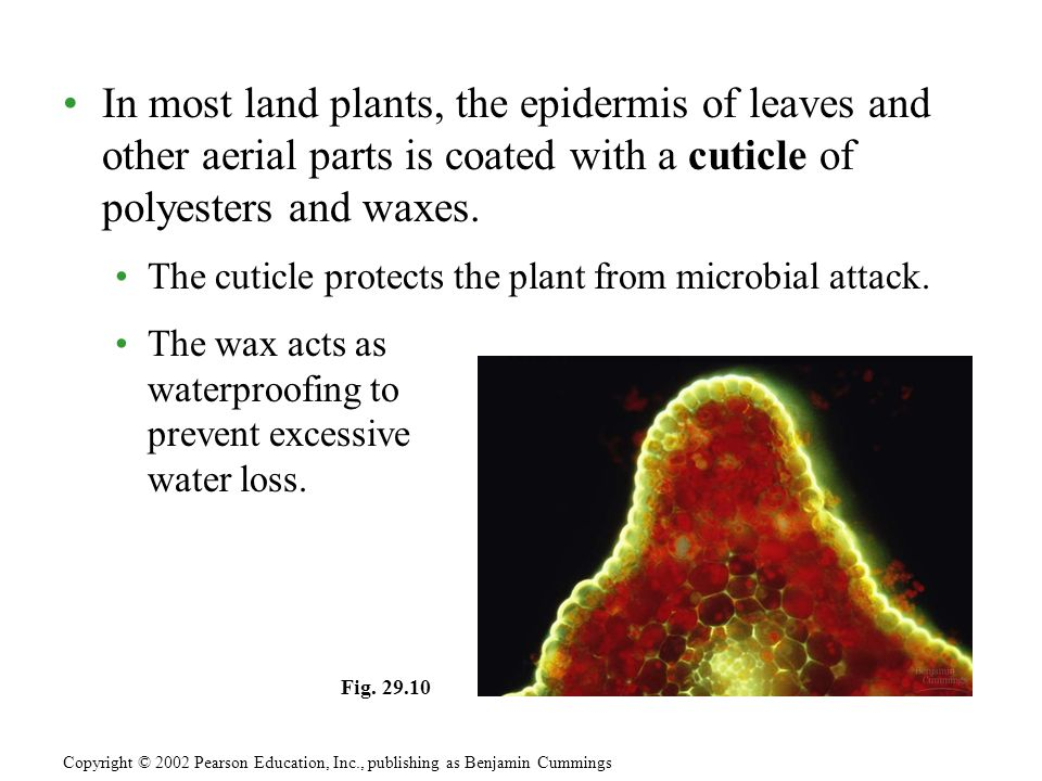 In most land plants, the epidermis of leaves and other aerial parts is coated with a cuticle of polyesters and waxes.