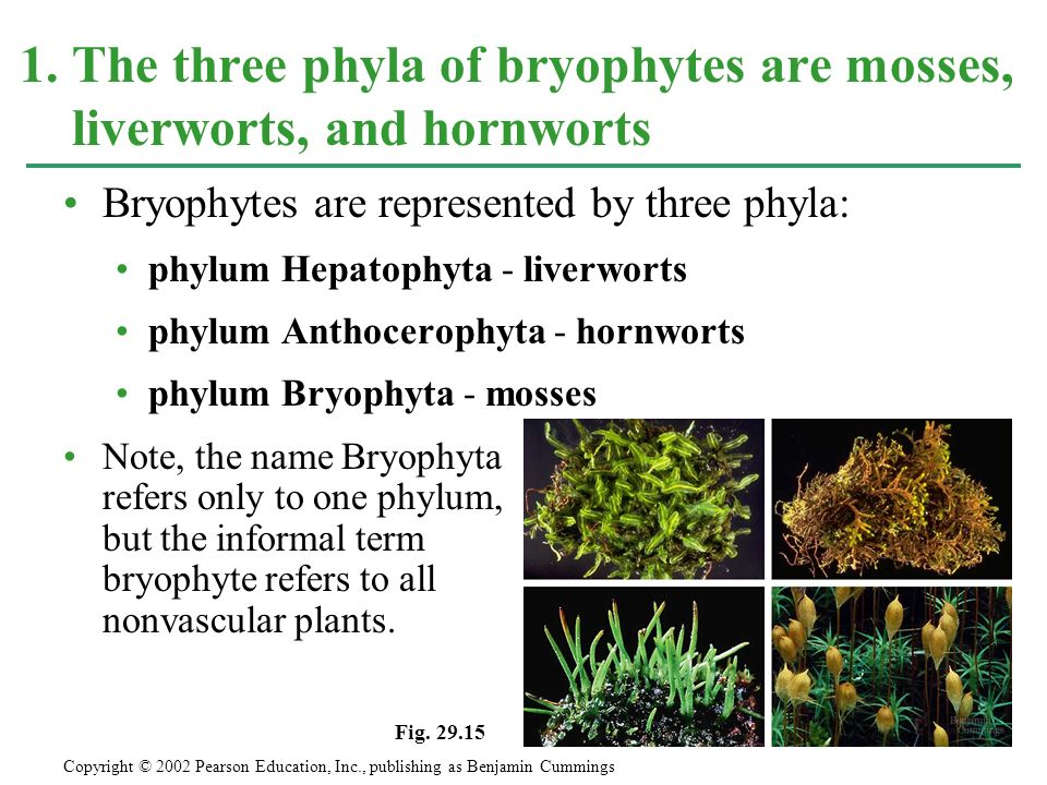 1. The three phyla of bryophytes are mosses, liverworts, and hornworts
