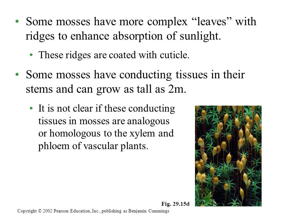 Some mosses have more complex leaves with ridges to enhance absorption of sunlight.