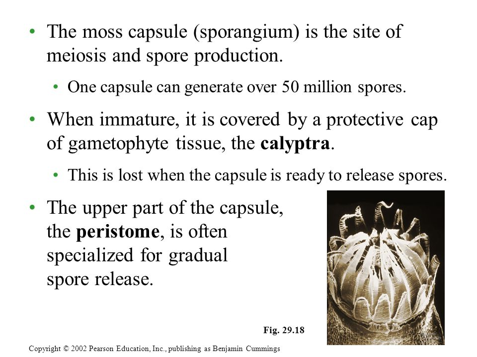 The moss capsule (sporangium) is the site of meiosis and spore production.
