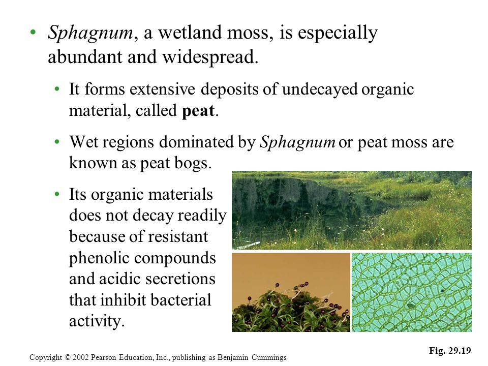 Sphagnum, a wetland moss, is especially abundant and widespread.