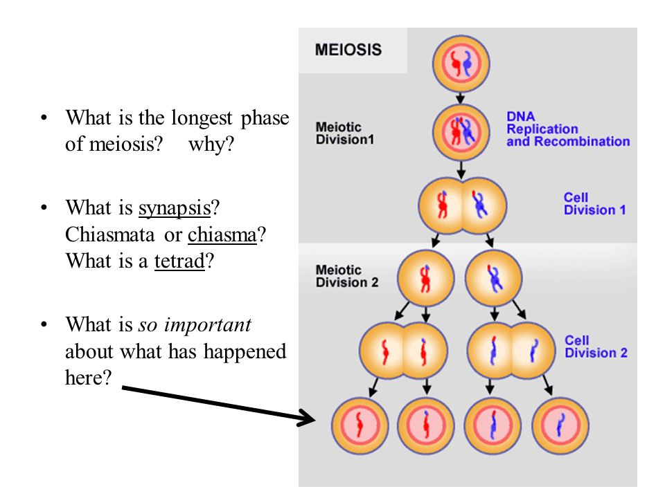 What is the longest phase of meiosis why
