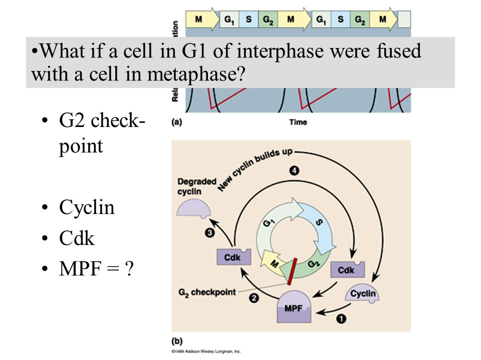 What if a cell in G1 of interphase were fused with a cell in metaphase