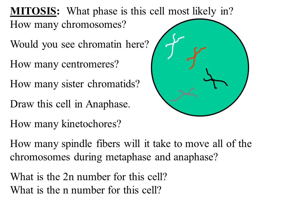 MITOSIS: What phase is this cell most likely in How many chromosomes