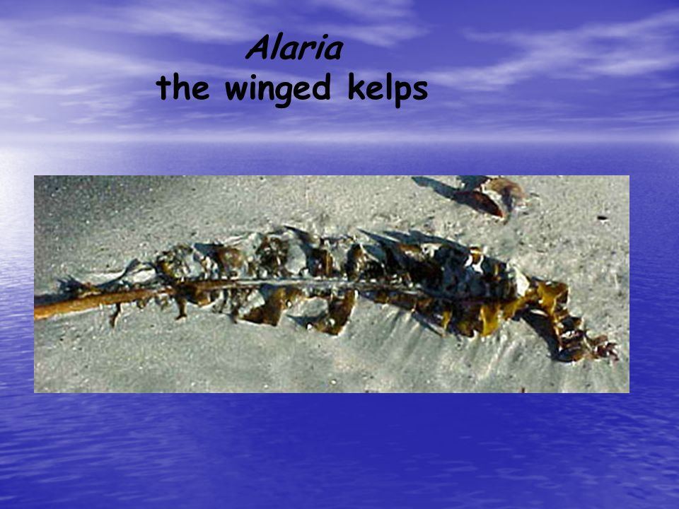 Alaria the winged kelps