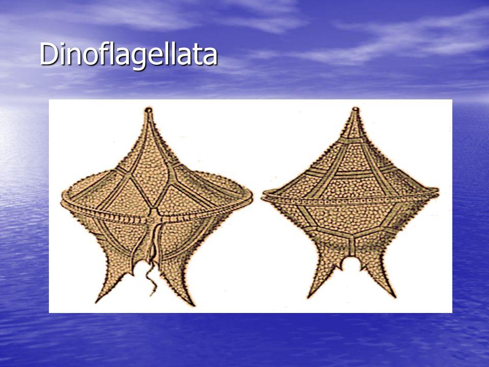 Dinoflagellata