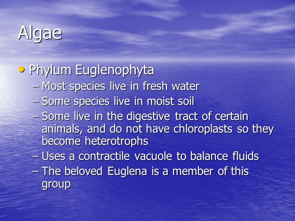 Algae Phylum Euglenophyta Most species live in fresh water