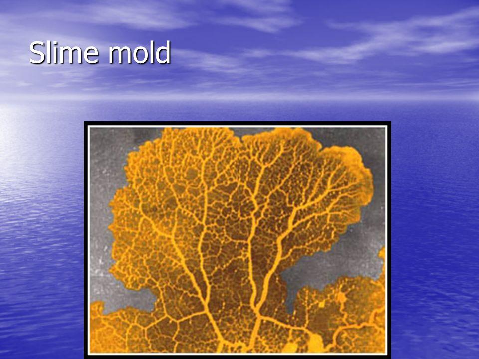 Slime mold myxomycota