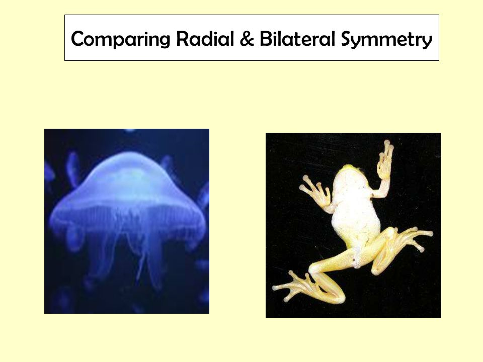 Comparing Radial & Bilateral Symmetry