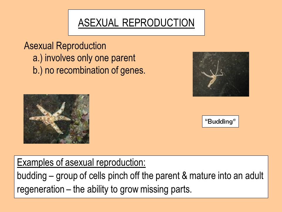 ASEXUAL REPRODUCTION Asexual Reproduction a.) involves only one parent
