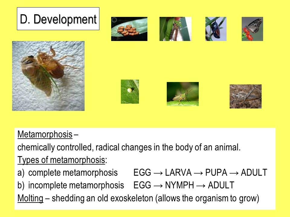 D. Development Metamorphosis –