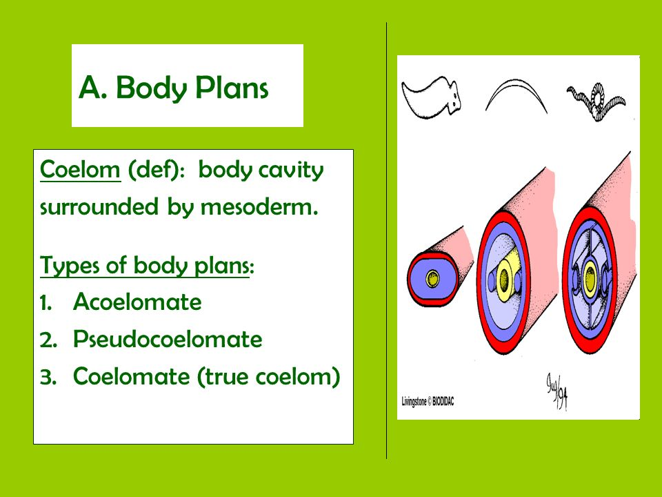 A. Body Plans Coelom (def): body cavity surrounded by mesoderm.