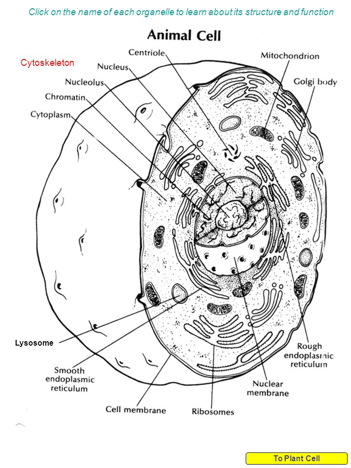 diagram of cell organelles name schematic diagram