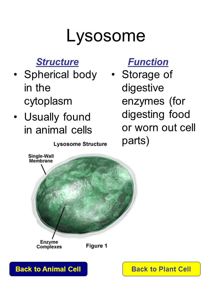 Click on the name of each organelle to learn about its ...