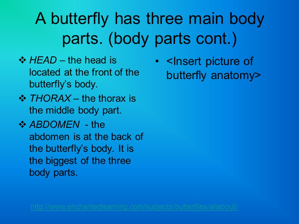 A butterfly has three main body parts. (body parts cont.)